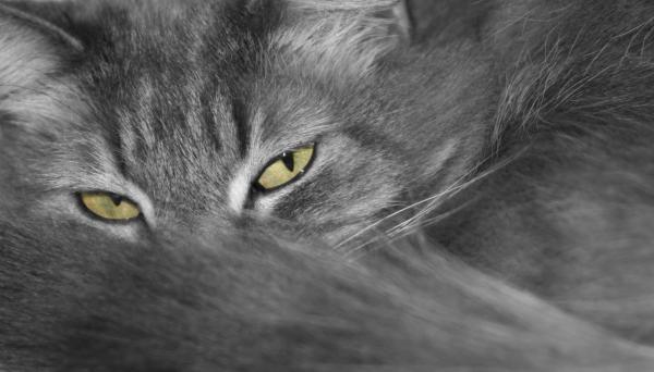 Maine Coon Cat Jonesboro Ar Best Cat Wallpaper